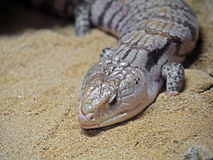 Blue-Tongued Skink or Blue Tongue Lizard on Sand. Closeup of Blue-Tongued Skink or Blue Tongue Lizard on Sand stock photo