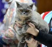 Blue Tortie British Shorthair Royalty Free Stock Images