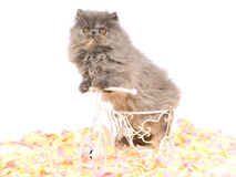 Blue Tortie Persian kitten on mini bicycle Stock Photo