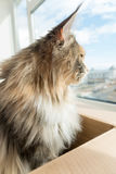 Blue tortie tabby with white Maine Coon cat looking out of the W Royalty Free Stock Photography