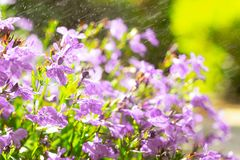 Blue Trailing Lobelia Sapphire flowers or Edging Lobelia in garden. Blue Trailing Lobelia Sapphire flowers or Edging Lobelia. Its Latin name is Lobel. Lobelia royalty free stock images