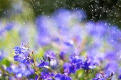Blue Trailing Lobelia Sapphire flowers or Edging Lobelia in garden. Blue Trailing Lobelia Sapphire flowers or Edging Lobelia. Its Latin name is Lobel. Lobelia stock photography