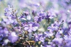 Blue Trailing Lobelia Sapphire flowers or Edging Lobelia in garden. Blue Trailing Lobelia Sapphire flowers or Edging Lobelia. Its Latin name is Lobel. Lobelia royalty free stock photos