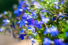 Blue Trailing Lobelia Sapphire flowers or Edging Lobelia in garden. Blue Trailing Lobelia Sapphire flowers or Edging Lobelia. Its Latin name is Lobel. Lobelia stock images