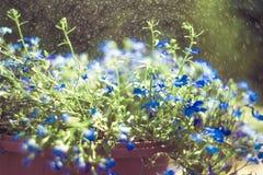 Blue Trailing Lobelia Sapphire flowers or Edging Lobelia in garden. Blue Trailing Lobelia Sapphire flowers or Edging Lobelia. Its Latin name is Lobel. Lobelia stock photo