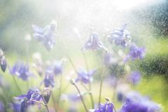 Blue Trailing Lobelia Sapphire flowers or Edging Lobelia in garden. Blue Trailing Lobelia Sapphire flowers or Edging Lobelia. Its Latin name is Lobel. Lobelia royalty free stock image