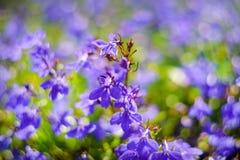 Blue Trailing Lobelia Sapphire flowers or Edging Lobelia in garden. Blue Trailing Lobelia Sapphire flowers or Edging Lobelia. Its Latin name is Lobel. Lobelia stock photos