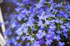Blue Trailing Lobelia Sapphire flowers or Edging Lobelia in garden. Blue Trailing Lobelia Sapphire flowers or Edging Lobelia. Its Latin name is Lobel. Lobelia royalty free stock photo