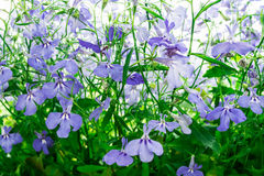 Blue Trailing Lobelia Sapphire flowers or Edging Lobelia, Garden Lobelia. Its Latin name is Lobelia Erinus Sapphire, native to South Africa, Malawi and Namibia Stock Photography