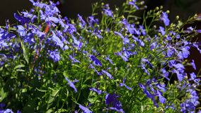 Blue Trailing Lobelia Sapphire flowers or Edging Lobelia, Garden Lobelia . Latin name is Lobelia Erinus `Sapphire. Blue Trailing Lobelia Sapphire flowers or Royalty Free Stock Photo