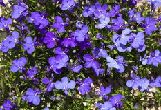 Blue Trailing Lobelia Sapphire flowers or Edging Lobelia, Garden Lobelia in St. Gallen, Switzerland photo. Its Latin name is Lobel. Ia Erinus `Sapphire`, native Royalty Free Stock Photos