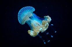 Blue transparent jellyfish floats through water. Blue transparent jellyfish floats through calm water Stock Photos