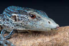 Blue tree monitor. The blue tree monitor, Varanus macraei, this monitor species is restricted to the island of Bantana,Indonesia Stock Photography