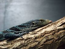 Blue tree monitor lizard Royalty Free Stock Photo