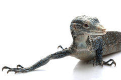 Blue Tree Monitor Lizard Stock Images