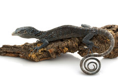 Blue Tree Monitor Lizard Stock Photography