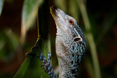 Blue Tree Monitor - Varanus prasinus Stock Photography