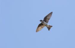 Blue tree sparrow Stock Image