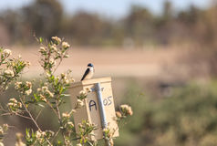 Blue Tree swallow bird. S, Tachycineta bicolor, sits on a nesting box in San Joaquin wildlife sanctuary, Southern California, United States Royalty Free Stock Images