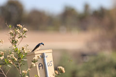 Blue Tree swallow bird. S, Tachycineta bicolor, sits on a nesting box in San Joaquin wildlife sanctuary, Southern California, United States Stock Photography