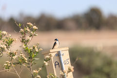 Blue Tree swallow bird. S, Tachycineta bicolor, sits on a nesting box in San Joaquin wildlife sanctuary, Southern California, United States Royalty Free Stock Photos