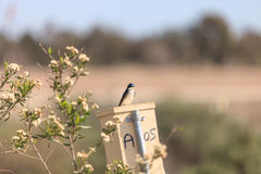 Blue Tree swallow bird. S, Tachycineta bicolor, sits on a nesting box in San Joaquin wildlife sanctuary, Southern California, United States Royalty Free Stock Photo