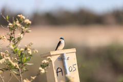 Blue Tree swallow bird. S, Tachycineta bicolor, sits on a nesting box in San Joaquin wildlife sanctuary, Southern California, United States Stock Image