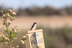 Blue Tree swallow bird. S, Tachycineta bicolor, sits on a nesting box in San Joaquin wildlife sanctuary, Southern California, United States Stock Images