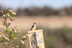Blue Tree swallow bird. S, Tachycineta bicolor, sits on a nesting box in San Joaquin wildlife sanctuary, Southern California, United States Royalty Free Stock Image