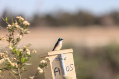 Blue Tree swallow bird. S, Tachycineta bicolor, sits on a nesting box in San Joaquin wildlife sanctuary, Southern California, United States Stock Photos