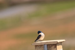 Blue Tree swallow bird. Tachycineta bicolor, sits on a nesting box in San Joaquin wildlife sanctuary, Southern California, United States Royalty Free Stock Images