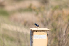 Blue Tree swallow bird. Tachycineta bicolor, sits on a nesting box in San Joaquin wildlife sanctuary, Southern California, United States Stock Photography
