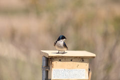 Blue Tree swallow bird. Tachycineta bicolor, sits on a nesting box in San Joaquin wildlife sanctuary, Southern California, United States Stock Image