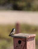 Blue Tree swallow bird, Tachycineta bicolor. Sits on a nesting box in San Joaquin wildlife sanctuary, Southern California, United States Royalty Free Stock Images