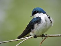 Blue Tree Swallow Perched on Twig Stock Photo