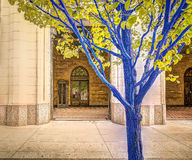 Blue Trees in Downtown Denver Royalty Free Stock Image