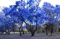 Blue trees in black and white landscape New York City Royalty Free Stock Image