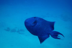 Blue trigger fish Stock Photos
