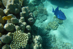 Blue trigger-fish among corals. Underwater world of coral and fishes Stock Images