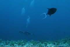 Blue Trigger fish and divers royalty free stock images