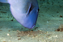 Blue triggerfish Royalty Free Stock Images