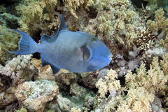 Blue triggerfish Royalty Free Stock Photography