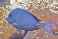 Blue Triggerfish Stock Image