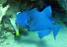 Blue triggerfish Stock Photo