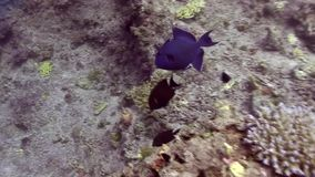 Blue triggerfish in Red sea. RBlue triggerfish pseudobalistes fuscus in Red sea stock video footage