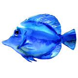 Blue tropical exotic fish isolated, watercolor illustration on white. Background Stock Images