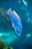 Blue tropical fish. Details of blue tropical fish swimming underwater Royalty Free Stock Photos