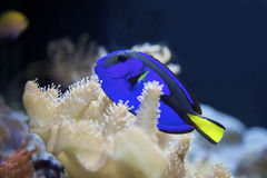 Blue tropical fish Stock Images
