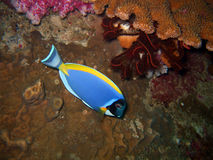 Blue tropical fish. And sea lily. Similan islands royalty free stock images