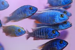 Blue tropical fish. A group of colorful tropical fish Royalty Free Stock Images